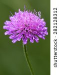 Small photo of violet flower dispsacacea labiate mentha aquatica scabioso