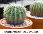 Ball Cactus In Flower Pot For...