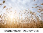 close up of ripe wheat | Shutterstock . vector #282224918