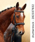 Small photo of Bavarian Warmblood horse, portrait wearing a bridle and a snaffle, brown
