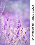 Beautiful Lavender Flowers