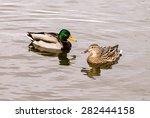 Wild Mallard Duck  Anas...