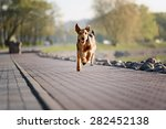 Stock photo happy run purebred airedale dog terrier outdoors 282452138