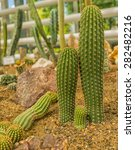 Small photo of Cactus. San Pedro Cactus (Trichocereus pachanoi).