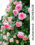 Stock photo the vine pink roses in garden 282483638
