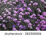 Sea Thrift By The Coast In...