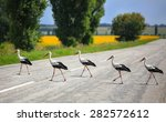 Storks Cross The Road The...