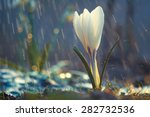 single flower of white crocus... | Shutterstock . vector #282732536