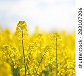 blooming yellow rape flowers | Shutterstock . vector #283107206
