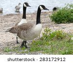 Two Canadian Geese On The Rive...