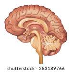 human brain  detailed... | Shutterstock .eps vector #283189766