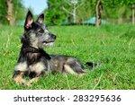 Dog Lies On The Grass. Mongrel...