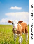 Cute Baby Cow On Pasture With...