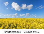 Yellow Oilseed Flower Field An...