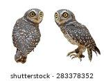 Stock photo spotted owlet or athene brama bird isolated on white background 283378352