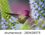 Male Anna\'s Hummingbird Flying...