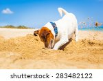 Jack Russell Dog Digging A Hol...