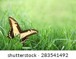 A Large Yellow Swallowtail...