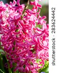 Pink Common Hyacinth ...