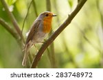 A Portrait Of A Robin Sitting...