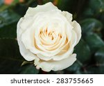 Stock photo natural white rose flower close up on green bush 283755665