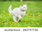 Stock photo white british shorthair cat running 283797728