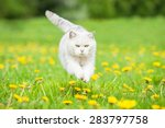 Stock photo white british shorthair cat jumping on the field with dandelions 283797758