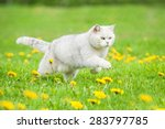 Stock photo white british shorthair cat running on the field with dandelions 283797785