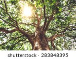 Sycamore trunk with thick branches and leaves against blue sky background at sunny day