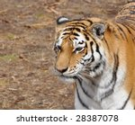 Stunning Young Tiger
