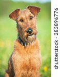Small photo of Portrait of irish terrier dog