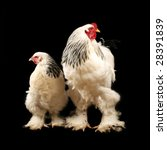 Light Brahma Rooster And Hen...