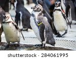 humboldt penguins  spheniscus...   Shutterstock . vector #284061995