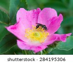 Flower Pink Rose With Bee