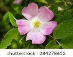 Close Up Of A Dog Rose  Rosa...