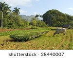 Tobacco farm with tobacco leafs and bullock  in Cuba - stock photo