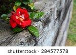 Single Deep Red Rose Bloom...