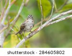 rufous collared sparrow on a... | Shutterstock . vector #284605802