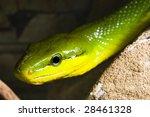 red tailed racer  gonyosoma...   Shutterstock . vector #28461328
