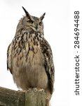 European Eagle Owl On Perch...