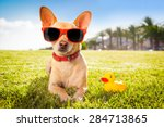 Chihuahua Dog  Relaxing And...