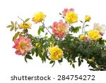 Stock photo pink and yellow rose bush isolated on white background 284754272