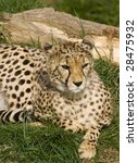 Small photo of Close up of Cheetah (Acinonyx jubatus soemmeringii)