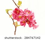 salmon colored flowering quince ... | Shutterstock . vector #284767142
