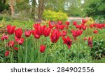 Red Tulips In The Garden At...