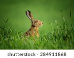 Stock photo wild european hare covered with drops of dew sitting in the green grass under the sun lonely wild 284911868