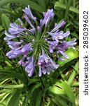 Small photo of Blue storm Agapanthus Praecox flower