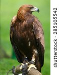Very Nice Portrait Golden Eagle