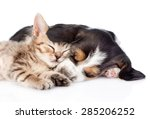 Stock photo kitten and basset hound puppy sleeping together isolated on white background 285206252