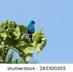 indigo bunting | Shutterstock . vector #285300305